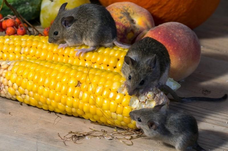 家に侵入したネズミ