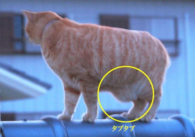ぷたぷ 猫 お腹 た