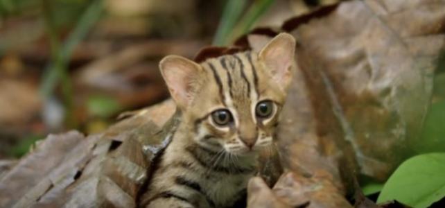 世界一小さい猫 サビイロネコ